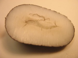 Cross Section of Tagua Nut